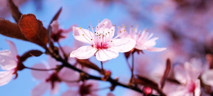 Cherry Blossom Quiz with Answers – Video Facts